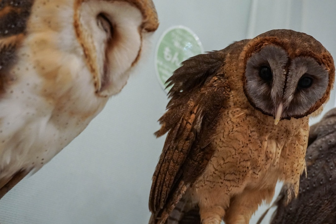 Maid cafes, cat cafes, and now there's owl cafes in Tokyo